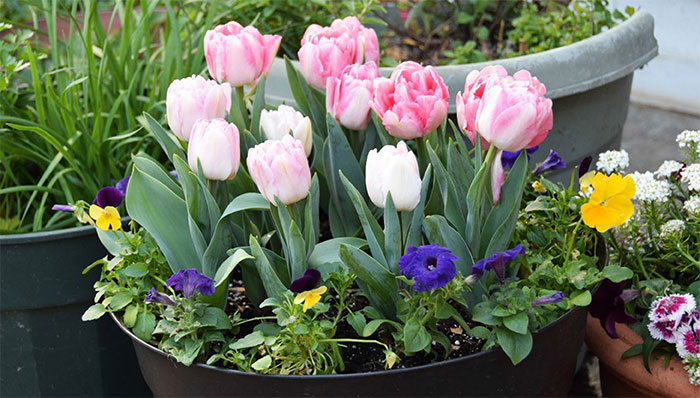 spring-containers-tulips-and-pansies