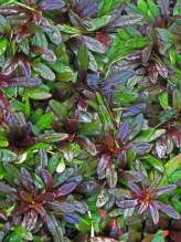 ajuga choc chip foliage