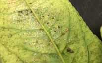 Thrips on back of leaf.jpg