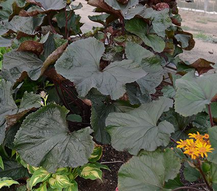 King-Kong ligularia
